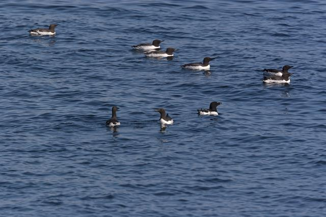 Common Guillemot (Uria aalge) photo