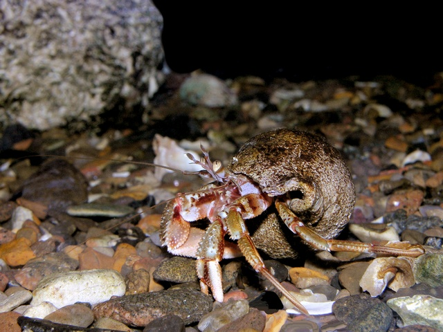 Common hermit crab (Eupagurus bernhardus) photo