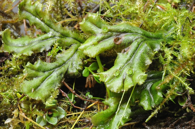 Common Liverwort (Marchantia polymorpha) photo