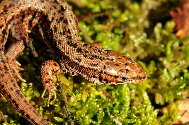 Common Lizard (Lacerta vivipara) photo