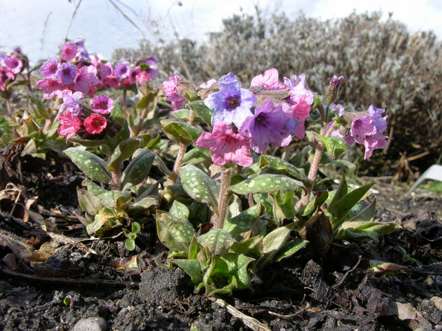 Common Lungwort (Pulmonaria officinalis) photo