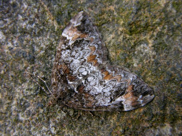 Common Marbled Carpet (Chloroclysta truncata) photo