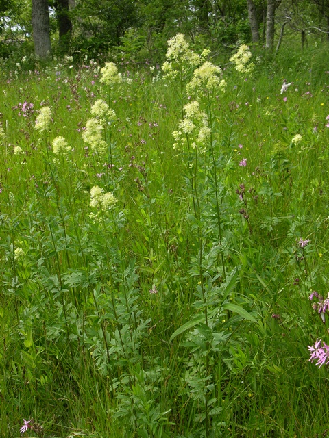 Common Meadow-Rue (Thalictrum flavum) photo