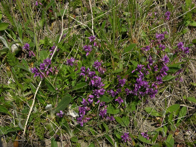 Common Milkwort (Polygala vulgaris) photo