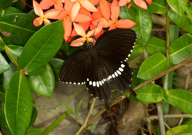 Common Mormon (Papilio polytes) photo