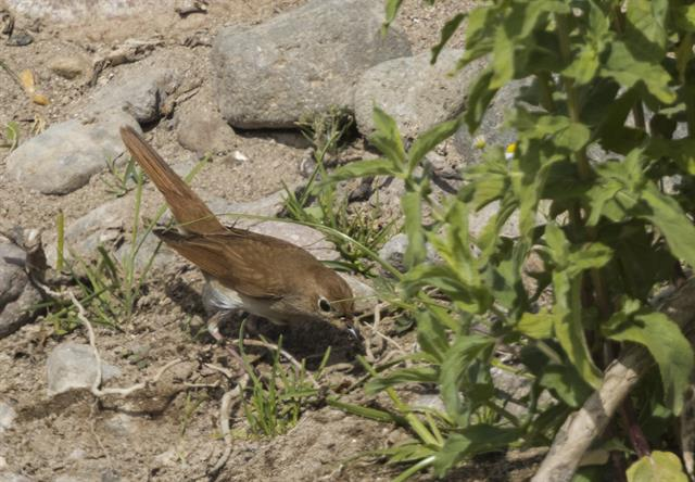 Common Nightingale (Luscinia megarhynchos) photo