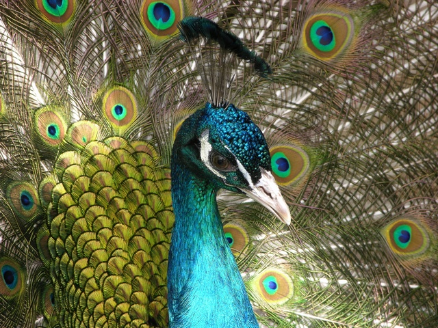 Common Peacock (Pavo cristatus) photo