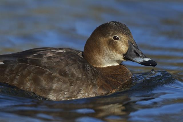Common Pochard (Aythya ferina) photo