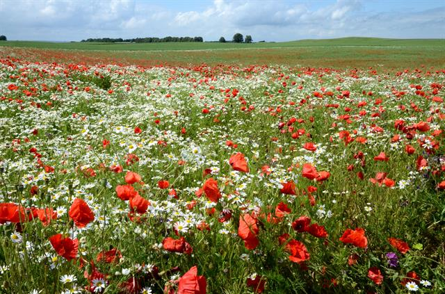 Common Poppy, Field Poppy (Papaver rhoeas) photo