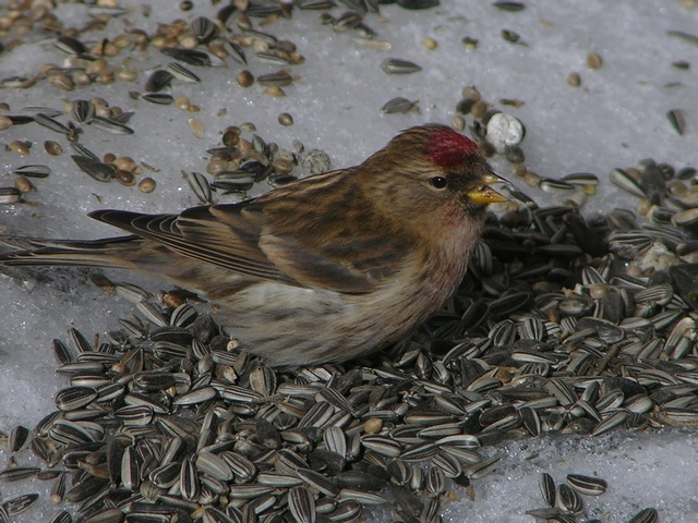 Common Redpoll (Carduelis flammea) photo