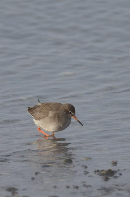 Common Redshank (Iceland) (Tringa totanus robusta) photo