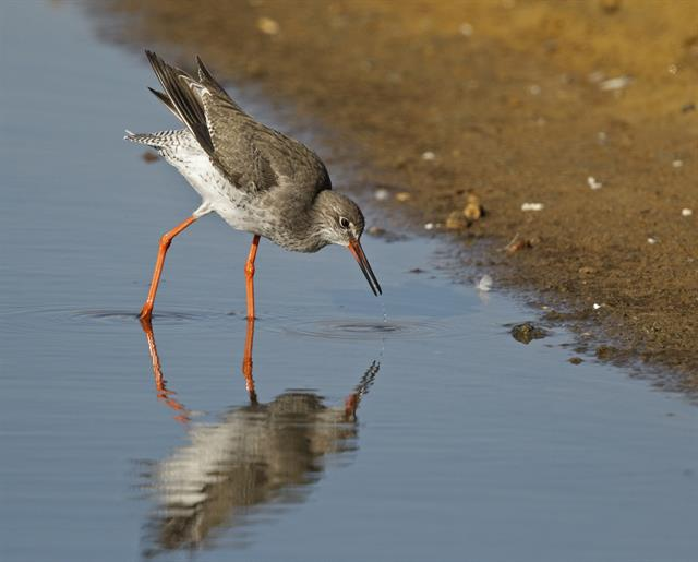 Common Redshank (Tringa totanus) photo