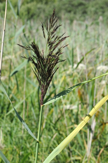 Common Reed (Phragmites australis) photo