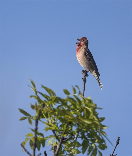 Common Rosefinch (Carpodacus erythrinus) photo