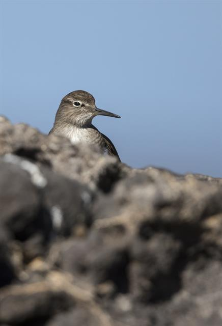 Common Sandpiper (Actitis hypoleucos) photo