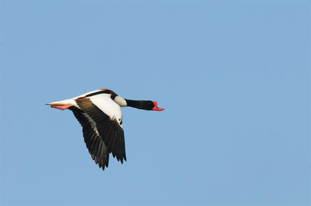 Common Shelduck (Tadorna tadorna) photo