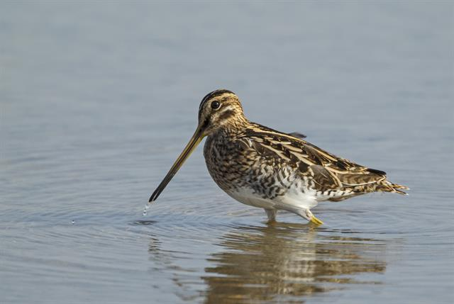 Common Snipe (Gallinago gallinago) photo