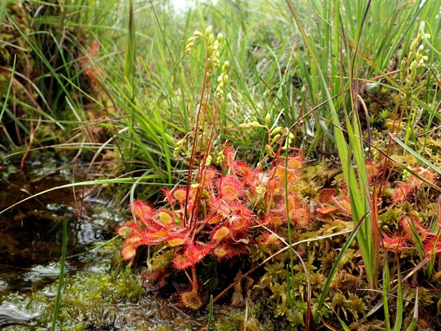 Common Sundew (Drosera rotundifolia) photo