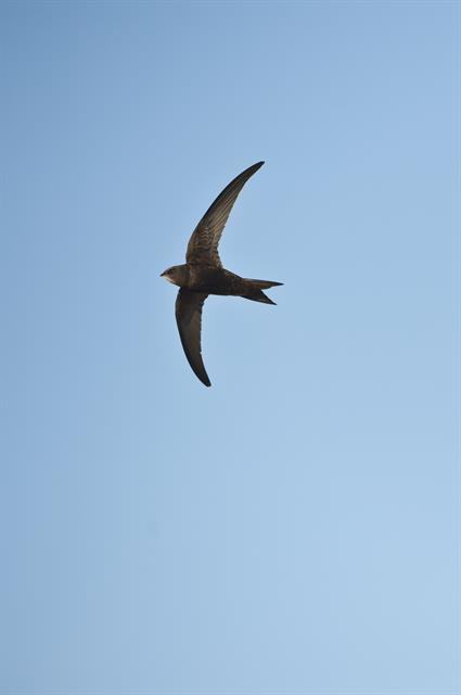 Common Swift (Apus apus) photo