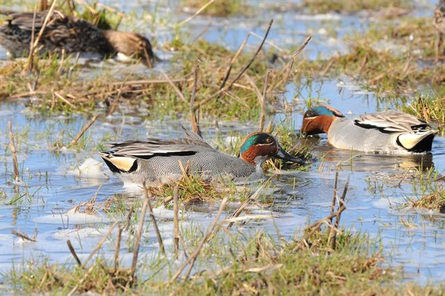 Common Teal (Anas crecca) photo