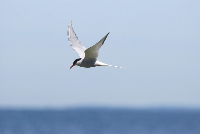 Common Tern (Sterna hirundo) photo