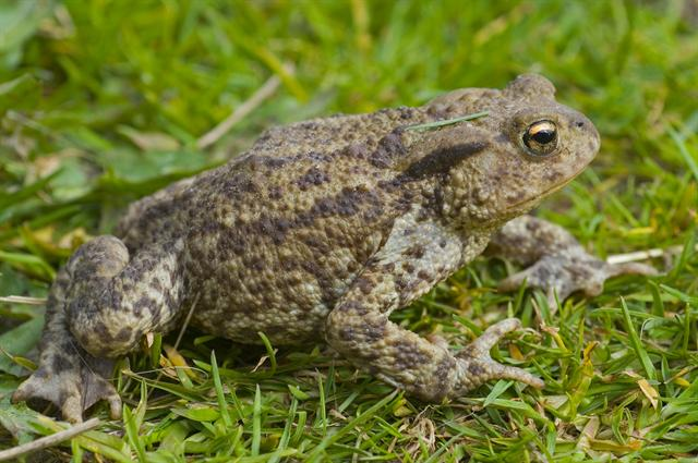 Common Toad (Bufo bufo) photo