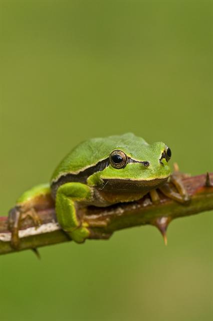 Common Tree Frog, European Tree Frog (Hyla arborea) photo