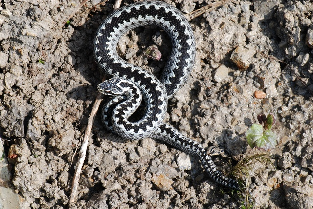 Common Viper, Adder (Vipera berus) photo