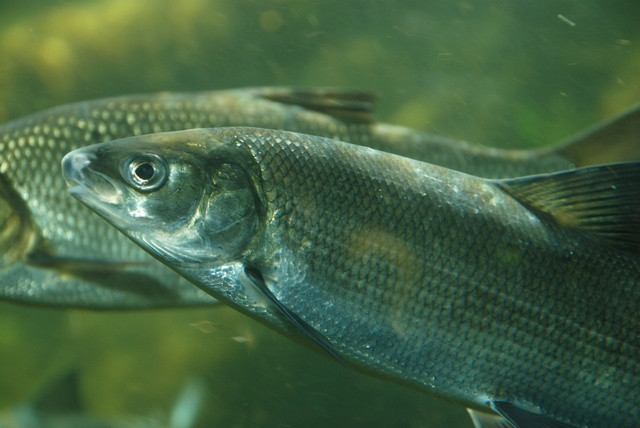Common whitefish (Coregonus lavaretus lavaretus) photo