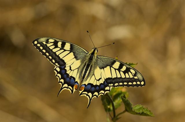 Common Yellow Swallowtail (Papilio machaon) photo