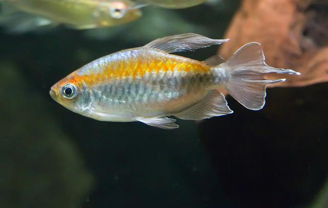 Congo Tetra (Phenacogrammus interruptus) photo