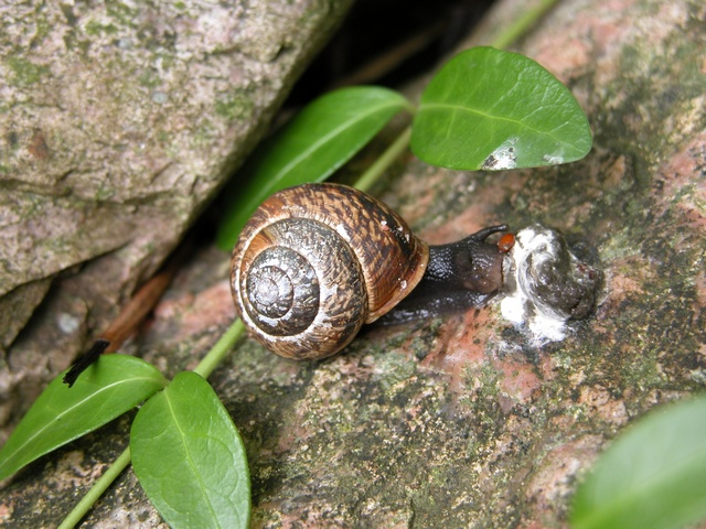 Copse Snail (Arianta arbustorum) photo