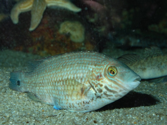 Corkwing wrasse   (Symphodus melops) photo