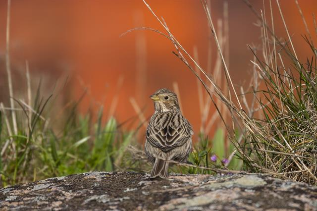 Corn Bunting (Emberiza calandra) photo