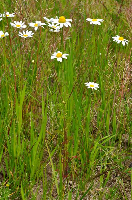 Corn Chamomile (Anthemis arvensis) photo