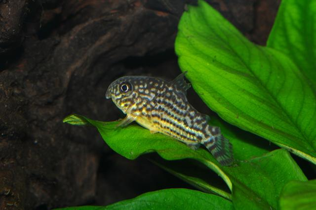 Corydoras sterbai photo