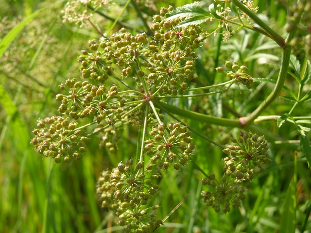 Cowbane (Cicuta virosa) photo