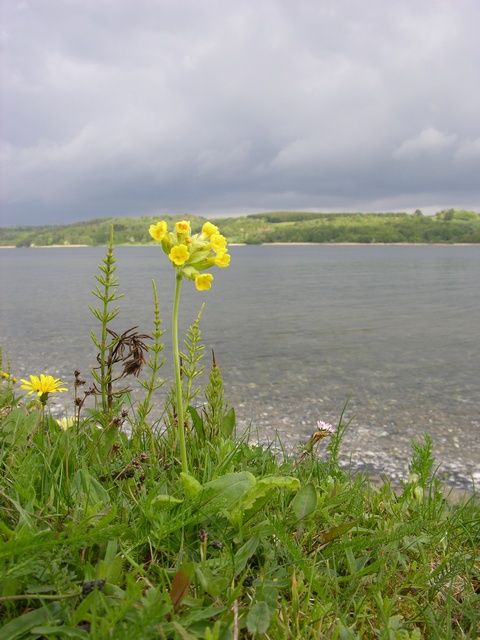 Cowslip (Primula veris) photo