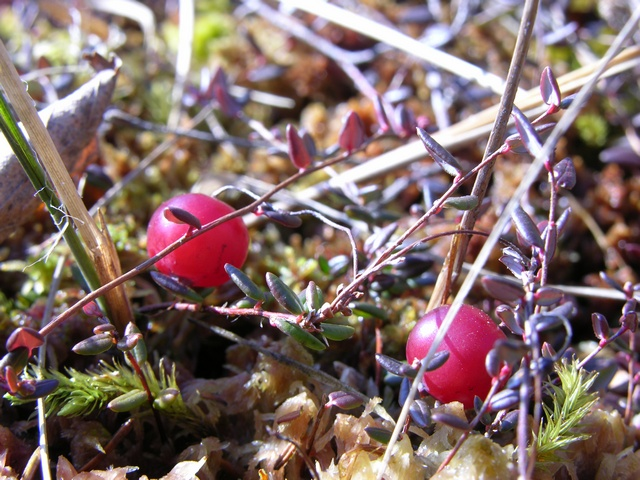 Cranberry (Vaccinium oxycoccus) photo