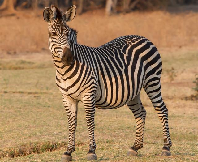 Crawshays zebra (Equus quagga crawshayi) photo