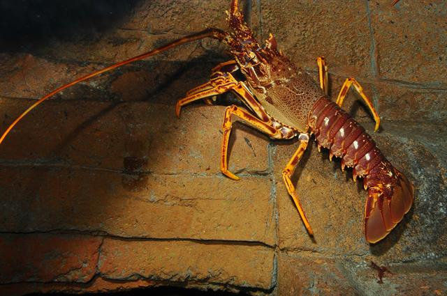 Crayfish, Common Spiny Lobster (Palinurus elephas) photo