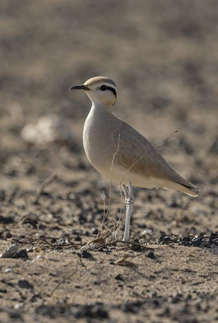 Cream-coloured Courser (Cursorius cursor) photo