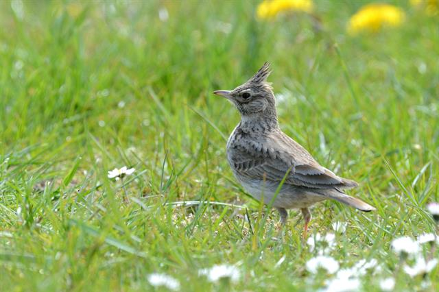 Crested Lark (Galerida cristata) photo