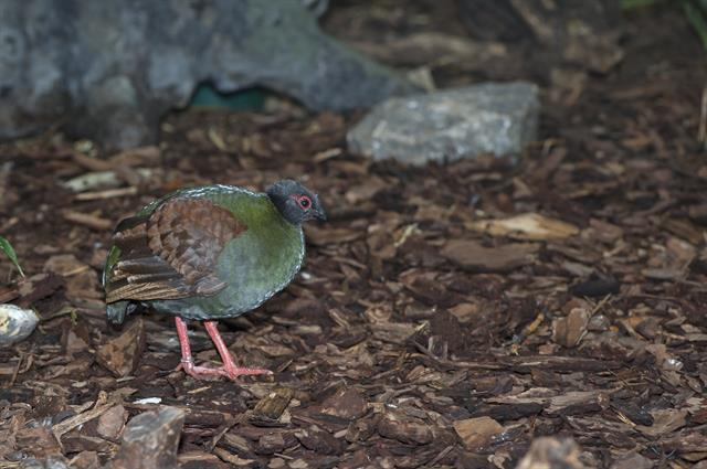 Crested partridge (Rollulus rouloul) photo