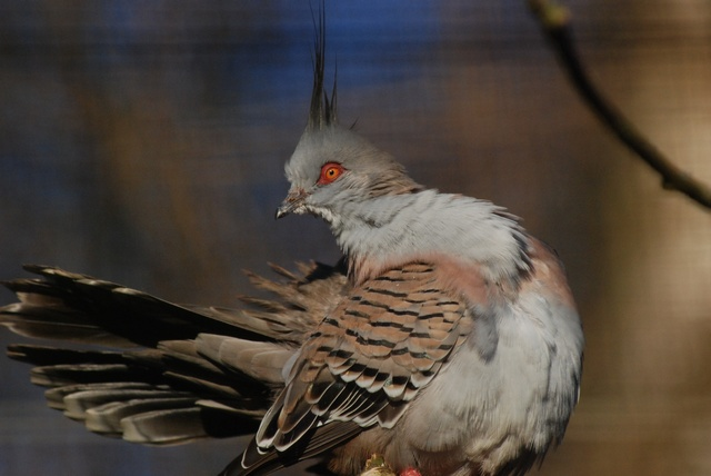 Crested Pigeon (Ocyphaps lophotes) photo
