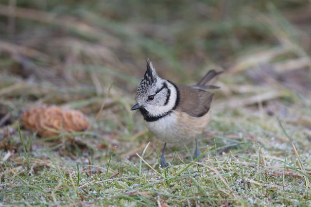 Crested Tit (Lophophanes cristatus) photo