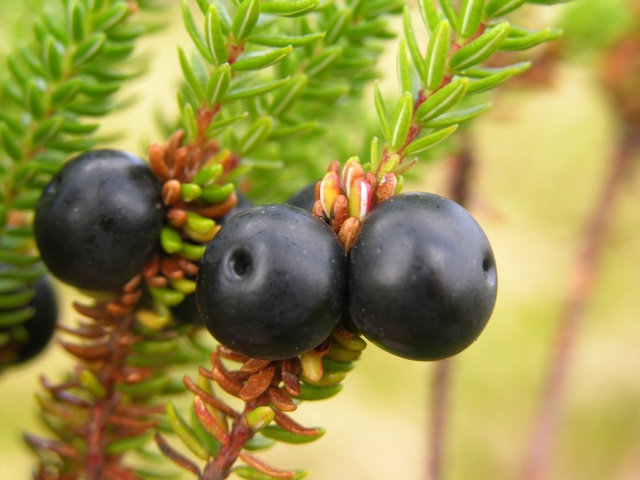 Crowberry - Crowberry Ssp (Empetrum nigrum) photo