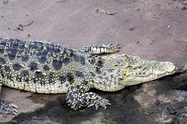 Cuban Crocodile (Crocodylus rhombifer) photo