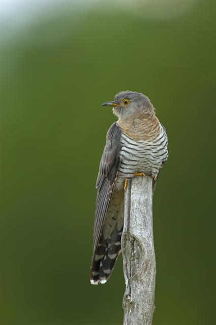 Cuckoo (Cuculus canorus) photo