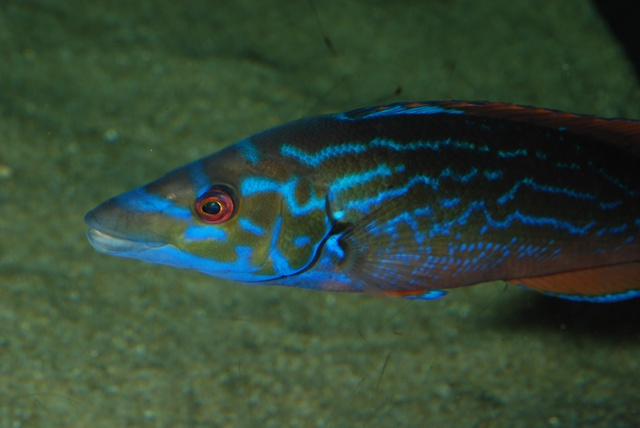 Cuckoo wrasse (Labrus bimaculatus) photo